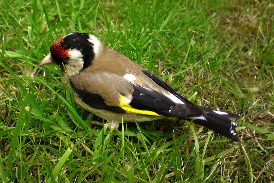 European Goldfinch - Sick or Stunned
