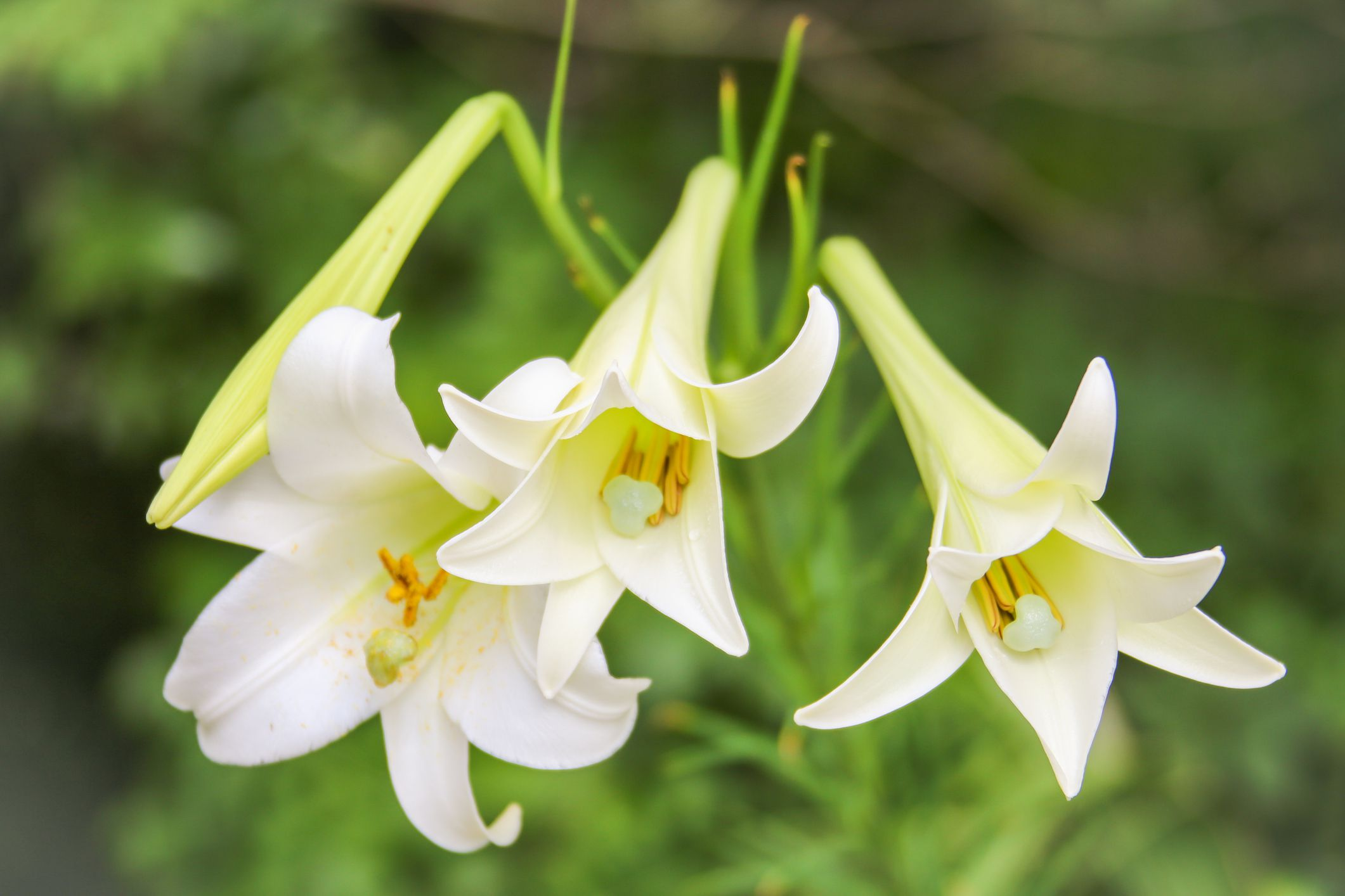 Easter Lilies Selection Care And Re Blooming