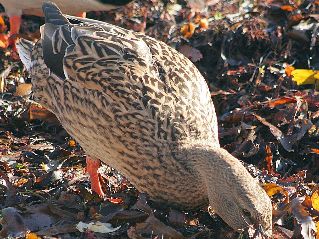 What Do Ducks Eat? - Diets and Feeding