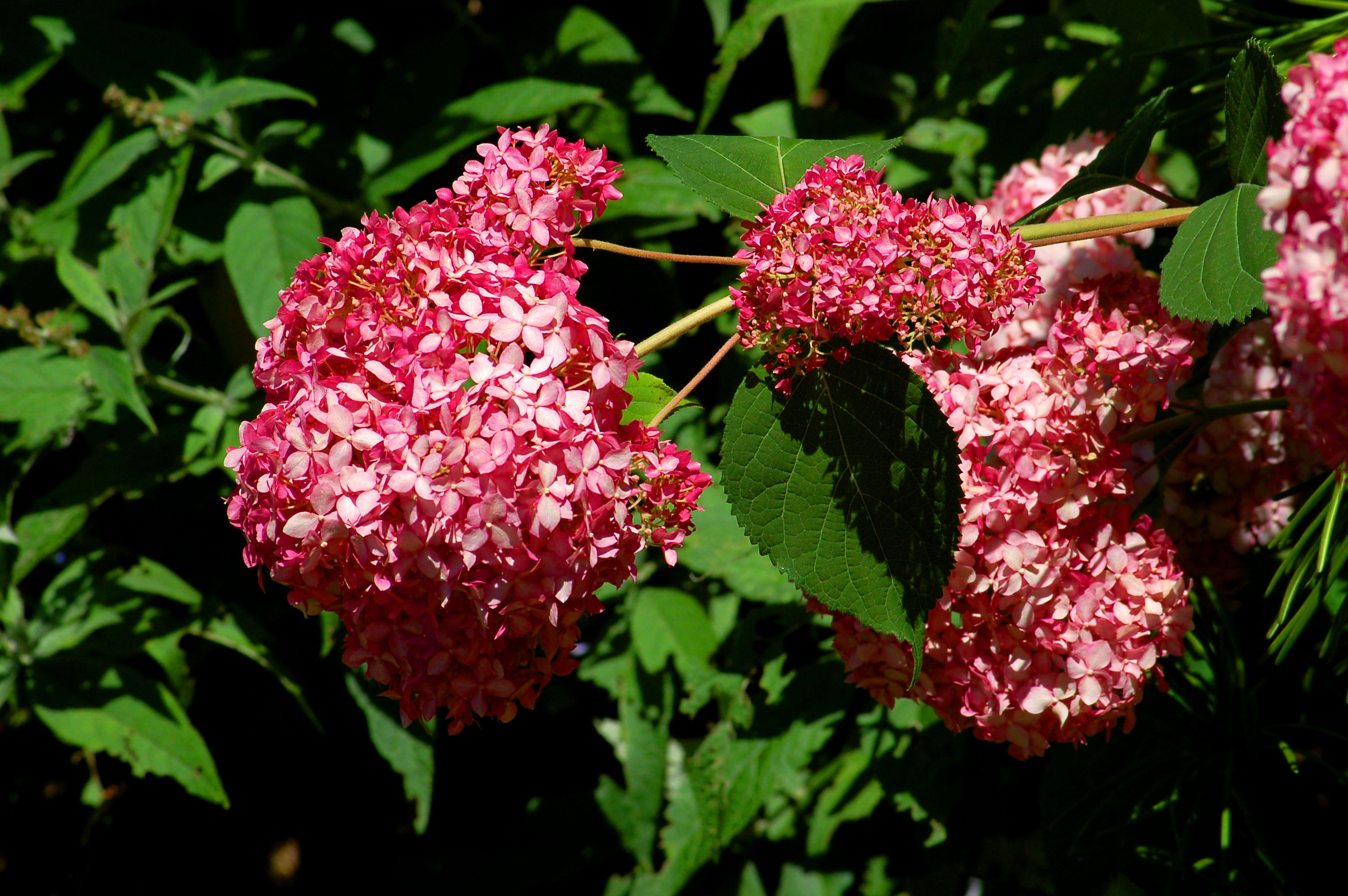 Invincibelle Spirit hydrangea starts out almost red, then fades to a light pink. Here's a picture.