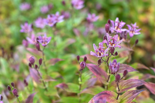 Toad lily with pink flowers and buds