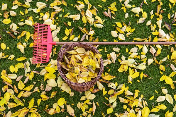 Rake and basket of leaves on a lawn