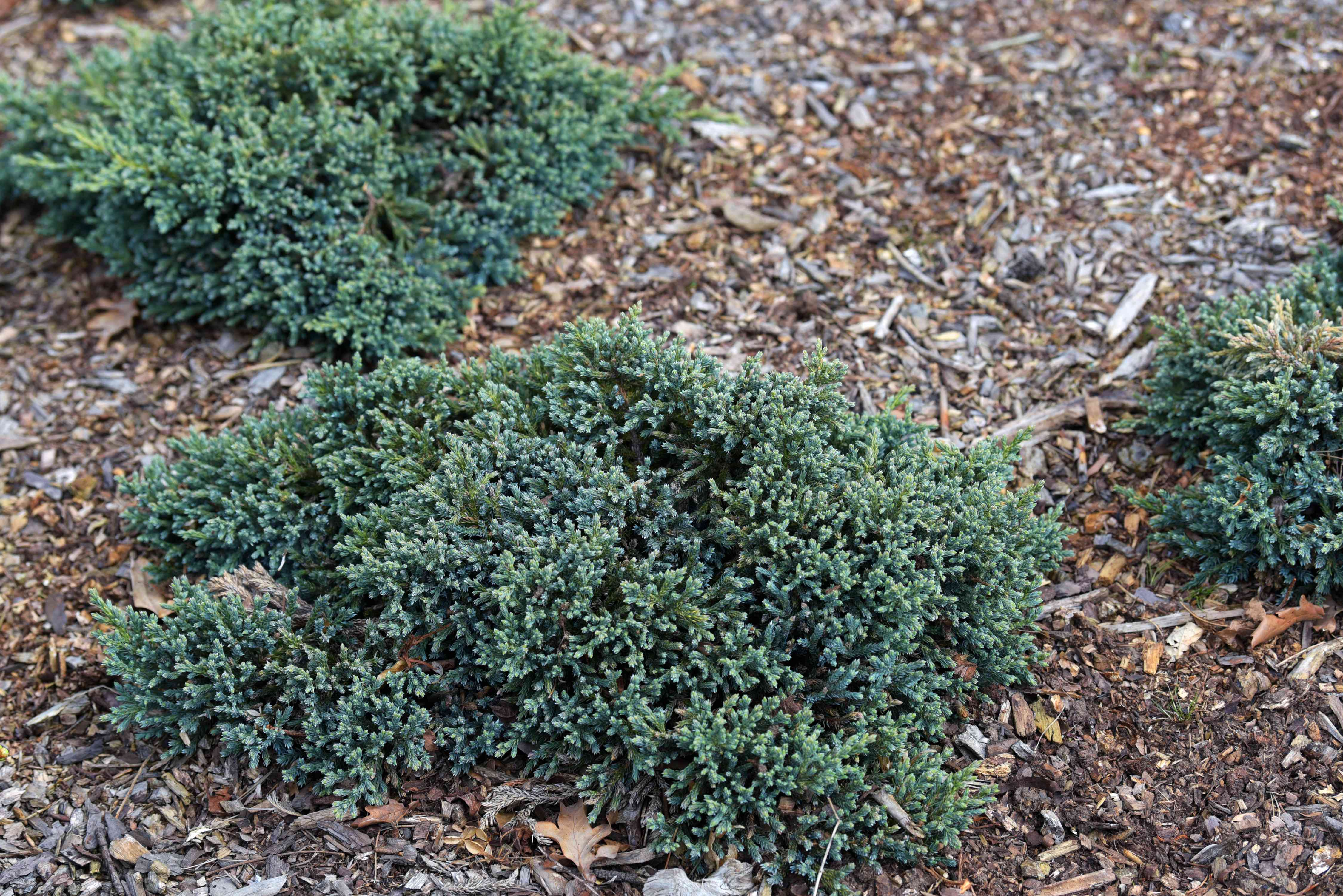 Blue star juniper shrubs surrounded by mulch with silvery-blue foliage