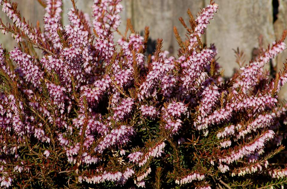 Heather in flower.