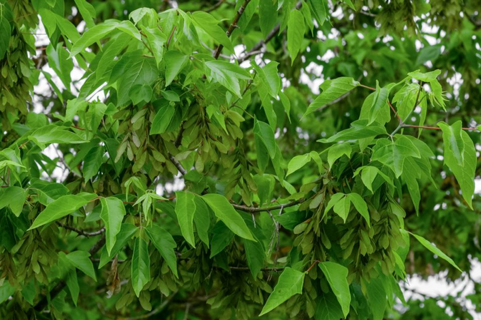 Boxelder tree branches with bright green irregularly toothed leaves