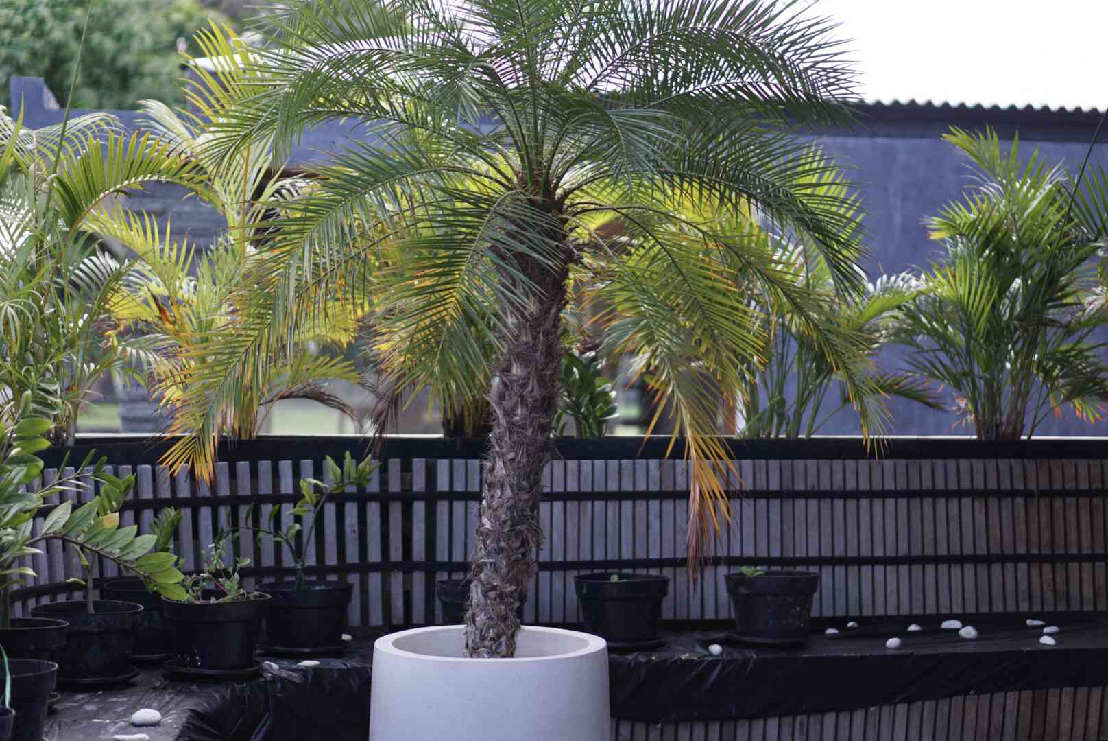 Robellini palm tree in white round pot in with yellow-green fronds in outdoor patio