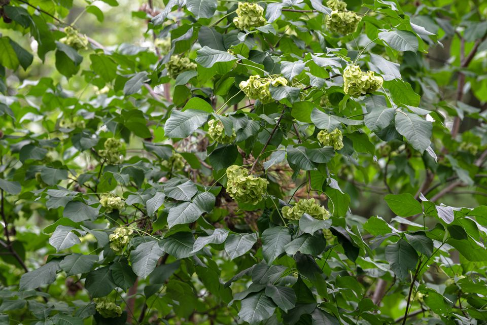 Hoptree shrub branches with dark green ovate leaflets with small greenish-white flowers