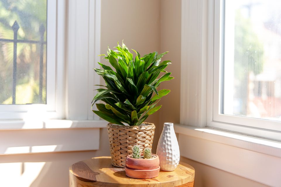 Dracaena deremensis on a side table