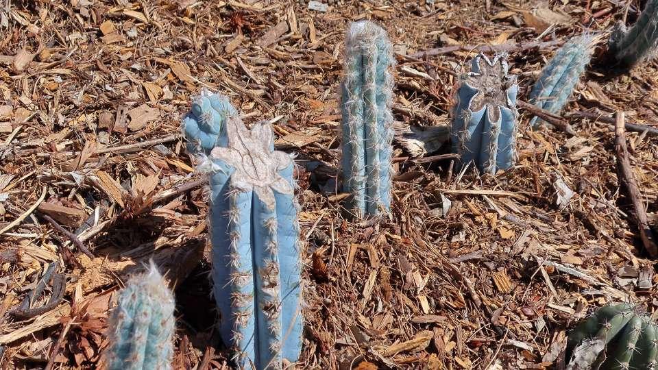 P. pachycladus cacti
