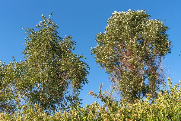 Balm for Gilead trees with whitish-green leaves on top branches against blue skies