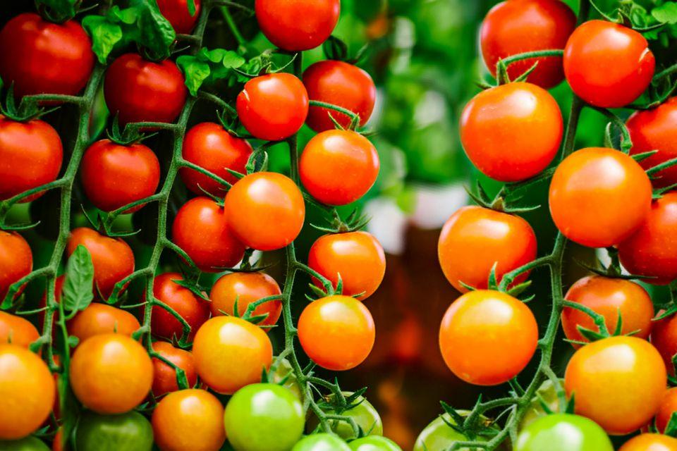 determinate tomato variety