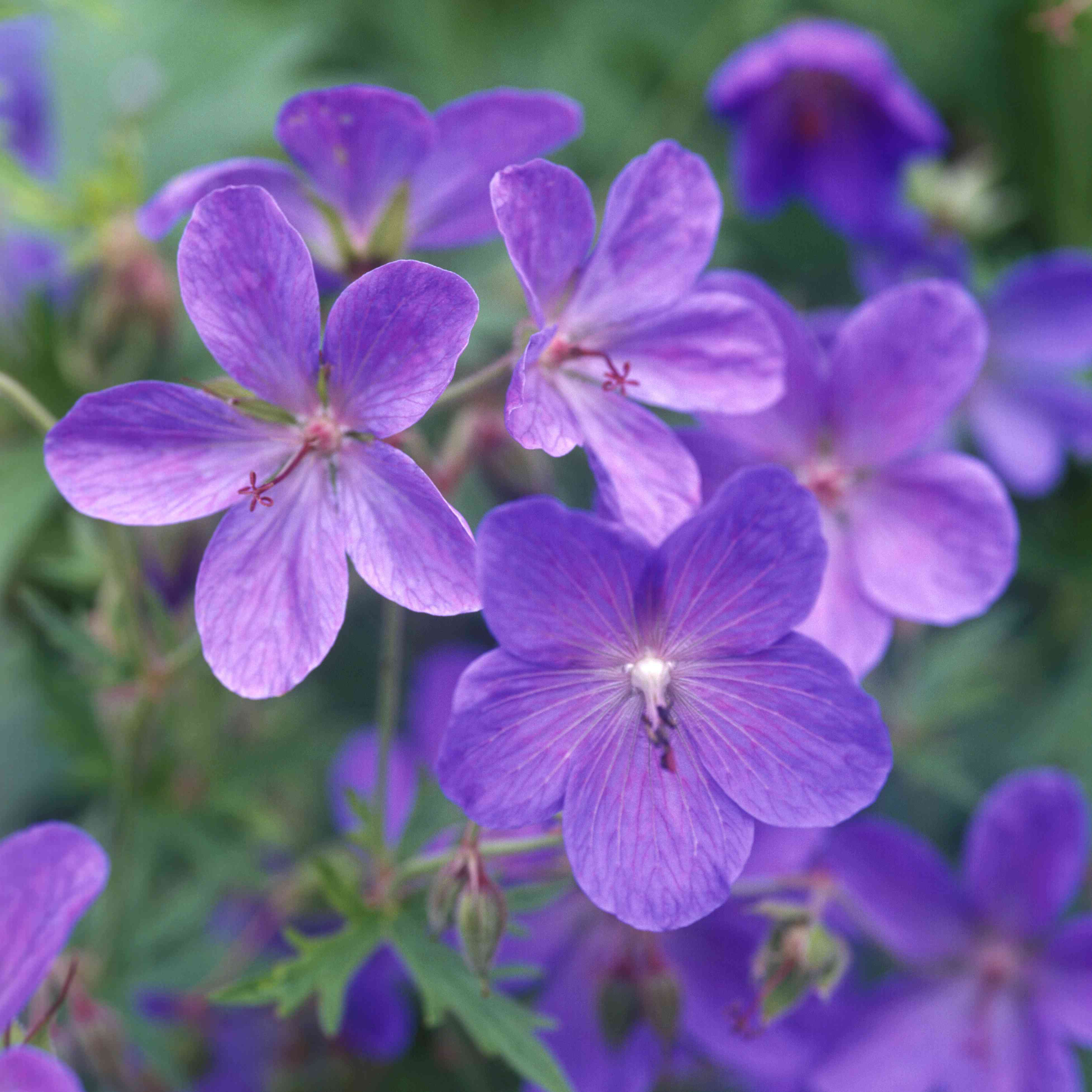 'Johnson's Blue' geraniums with purplish-blue flowers