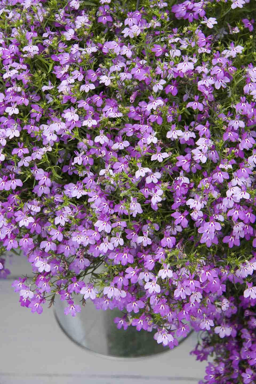 Pictures of purple flowers picture of annual purple lobelia flowers izmirmasajfo