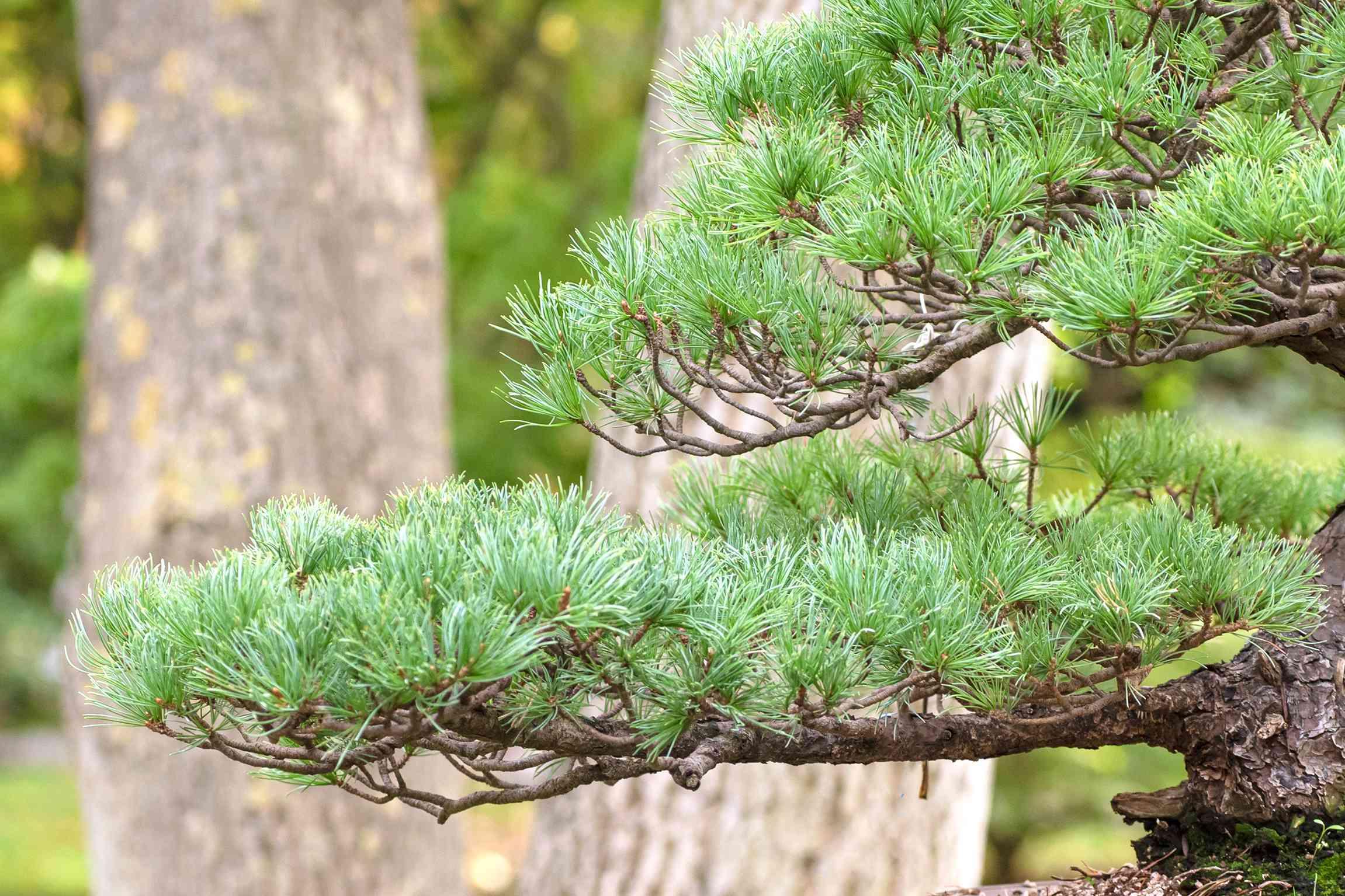 Pine bonsai tree branches closeup
