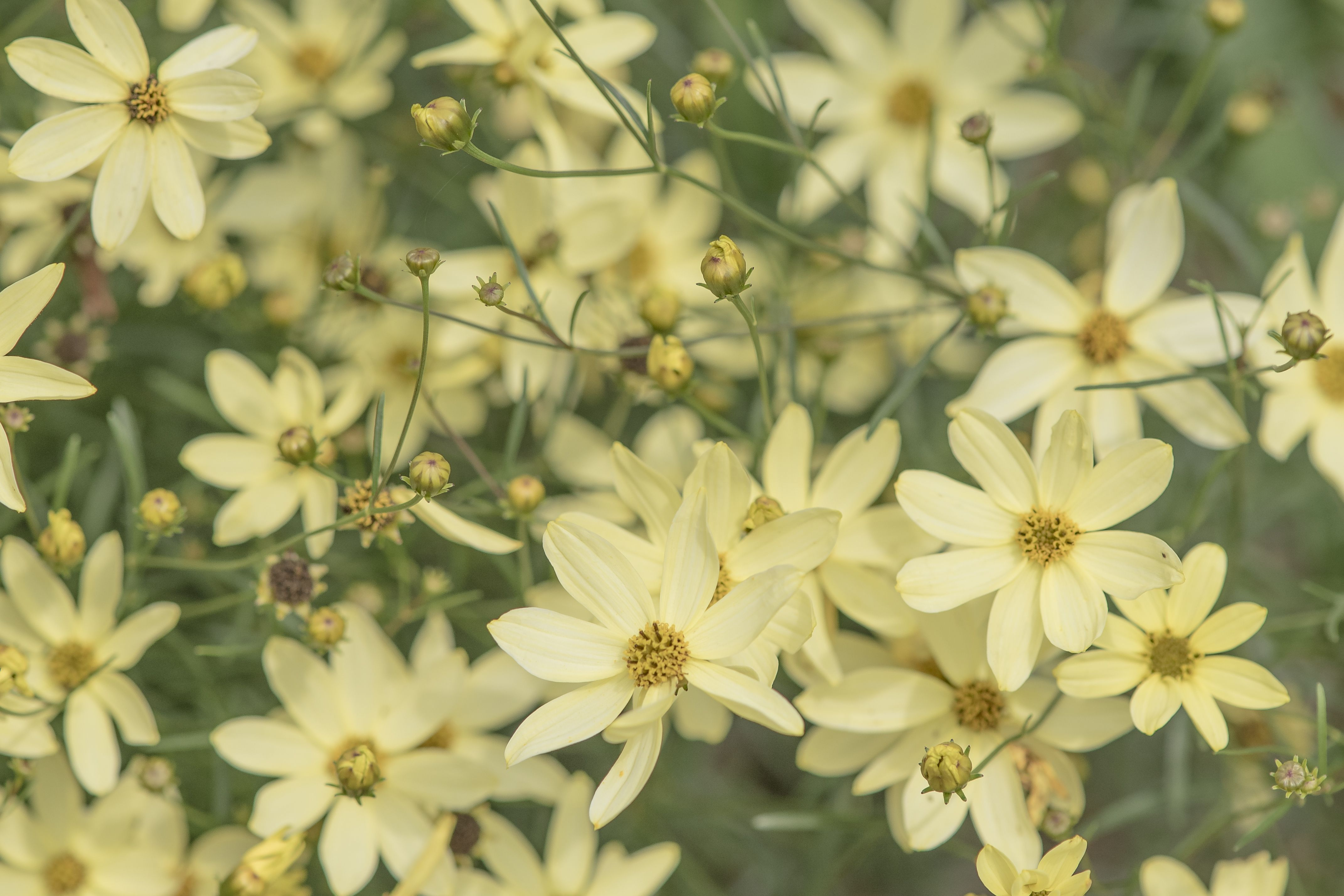 'Moonbeam' threadleaf coreopsis with yellow centers and petals
