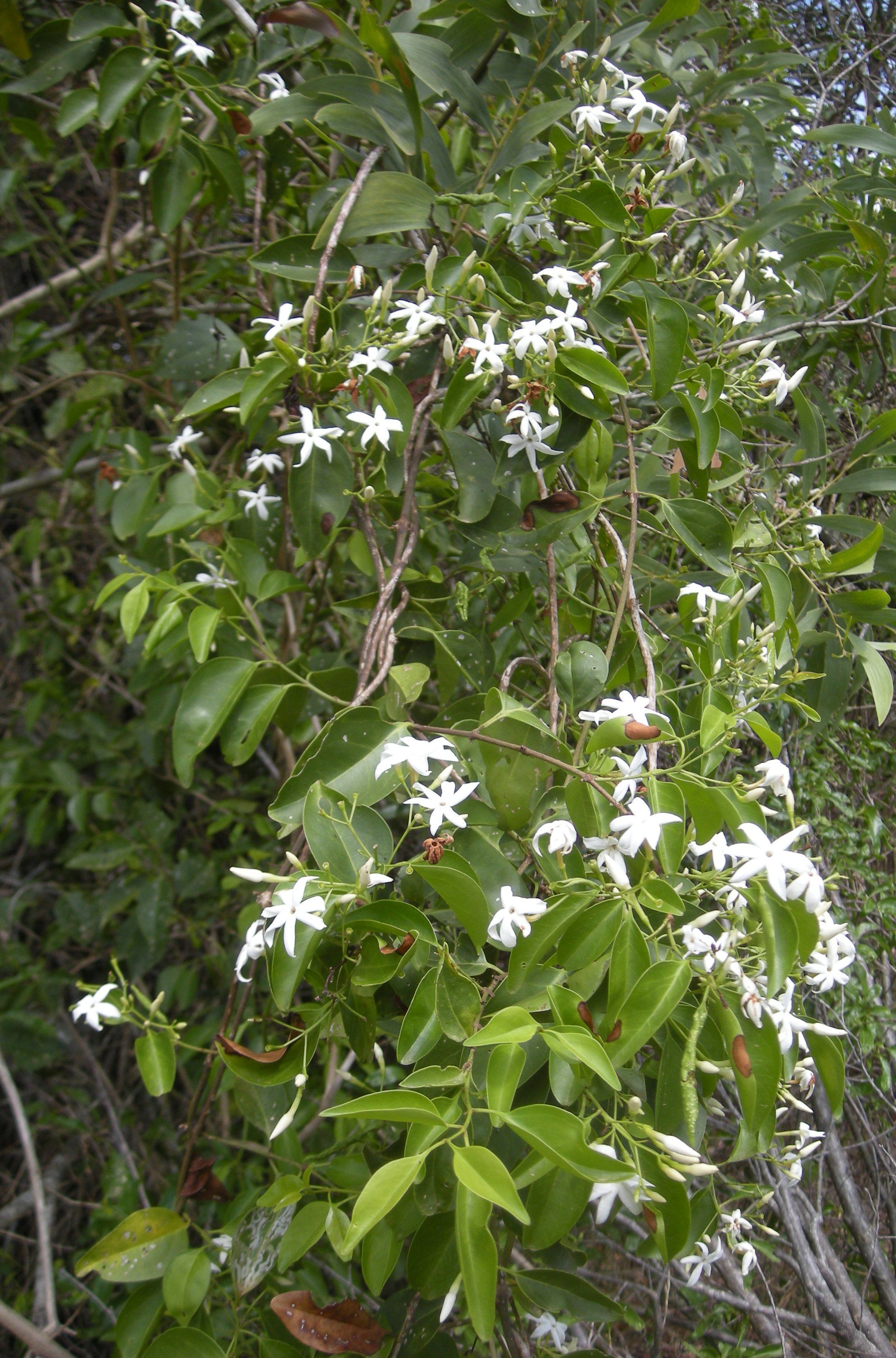 Recommended Jasmines For Home Gardens