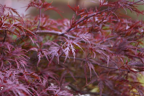 Red dragon Japanese maple tree branches with dark red feathery leaves
