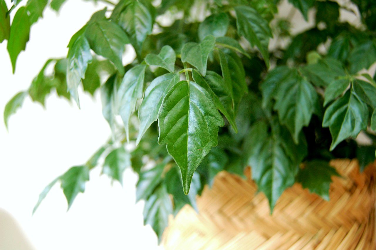 A close up of the leaves of a China Doll Plant.