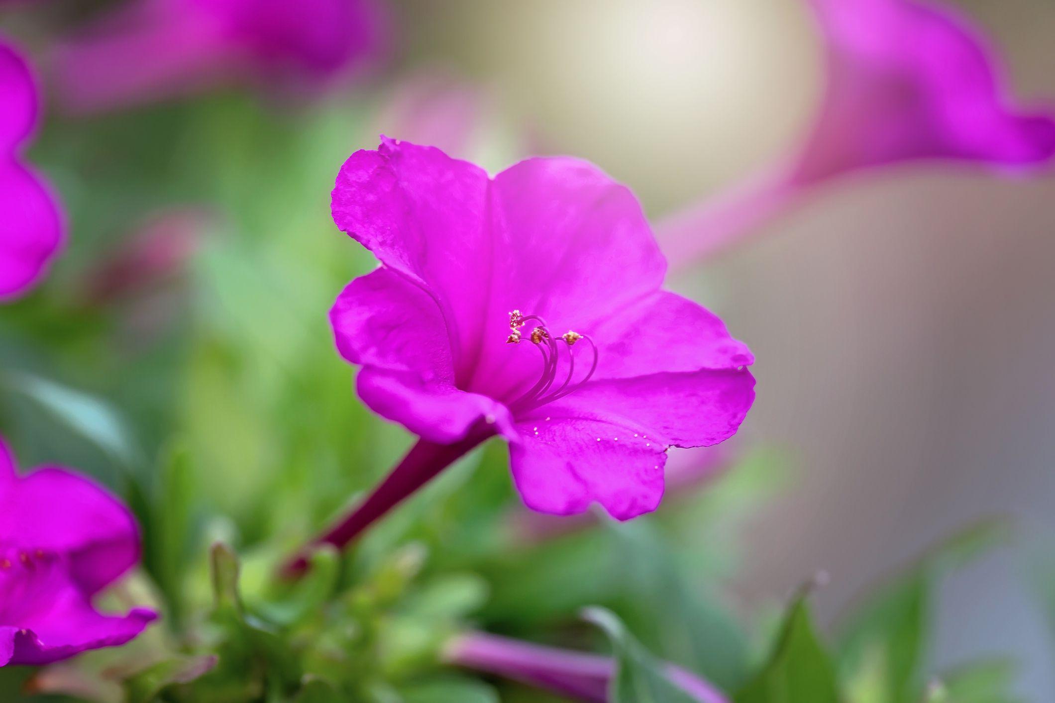 Mirabilis jalapa, four o'clock pink flower