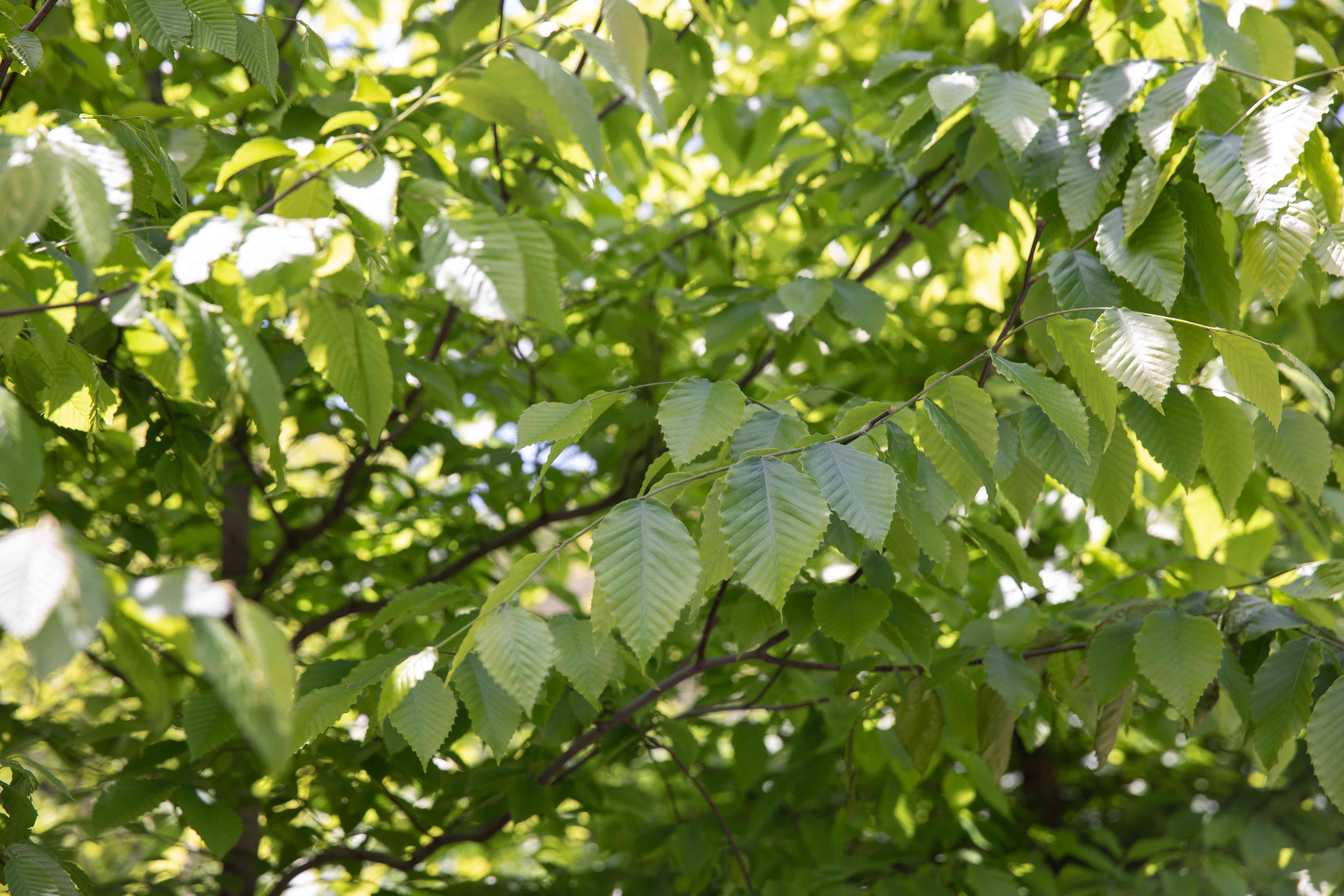 American beech tree branches and leaves