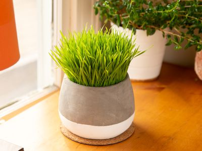 wheatgrass growing indoors in a pot