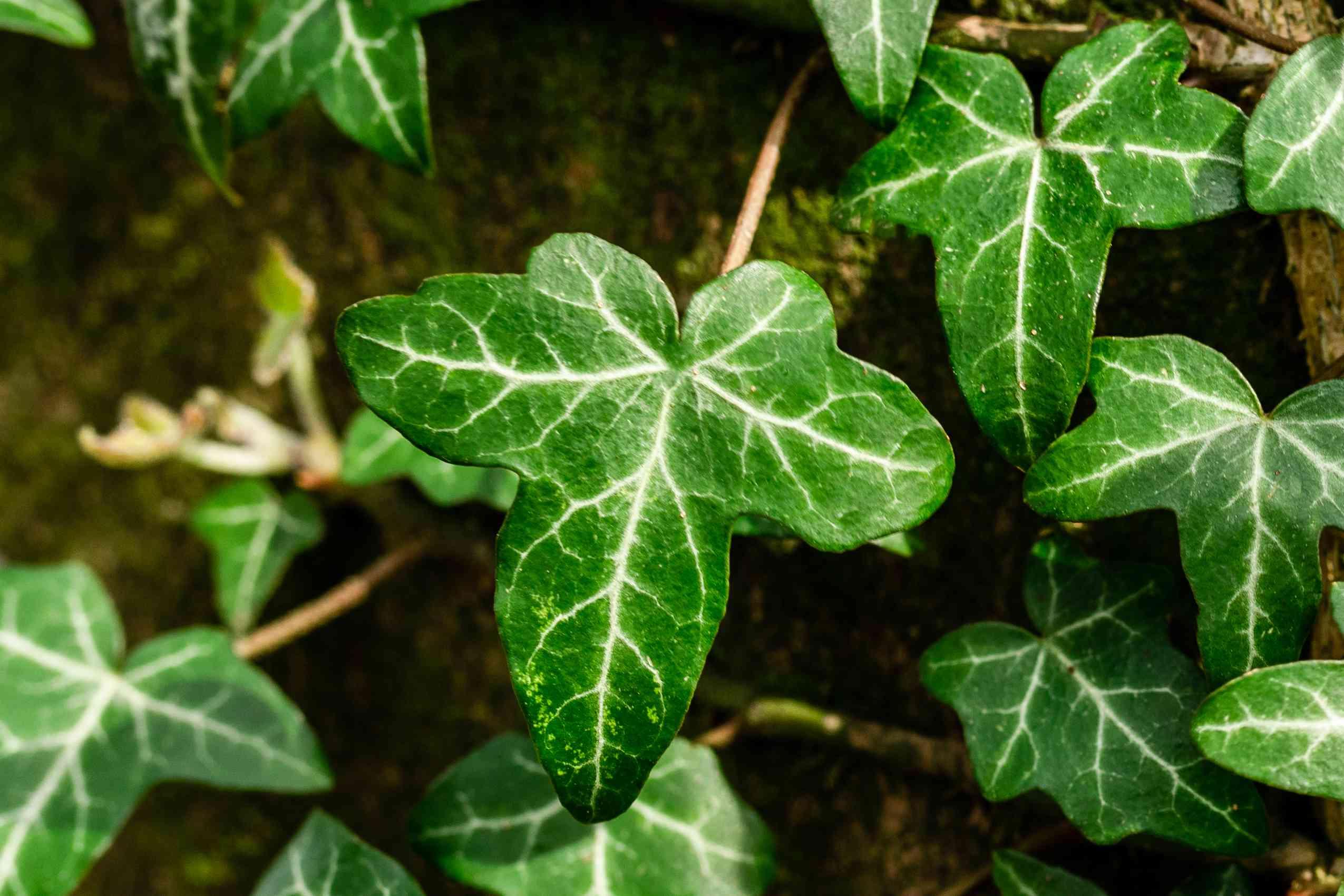 closeup of an english ivy leaf