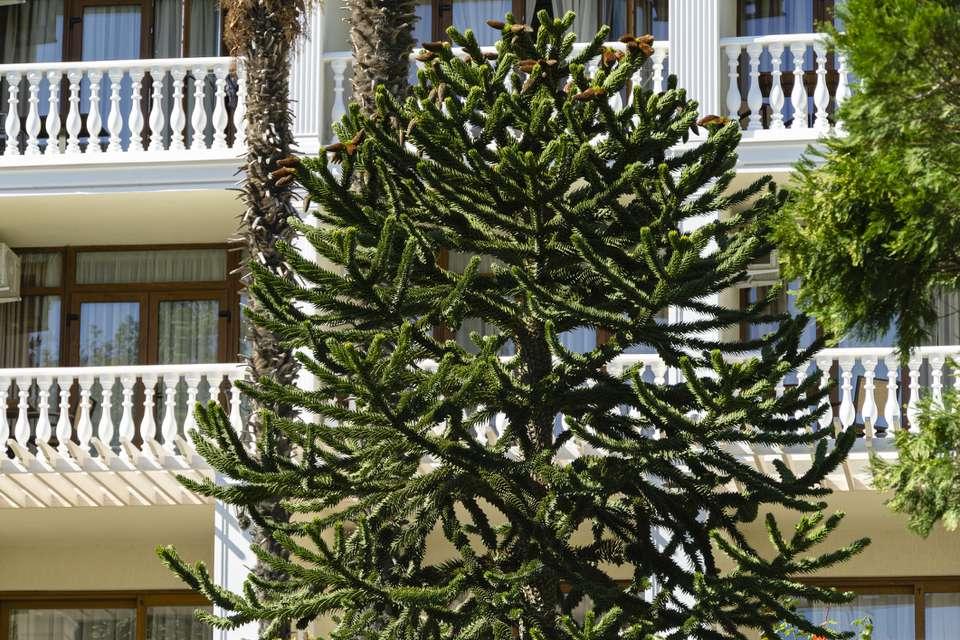 Close-up of Araucaria araucana, monkey puzzle tree or Chilean pine on building background in park Aivazovsky Partenit, Crimea.