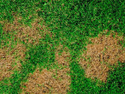 brown patch disease on lawn