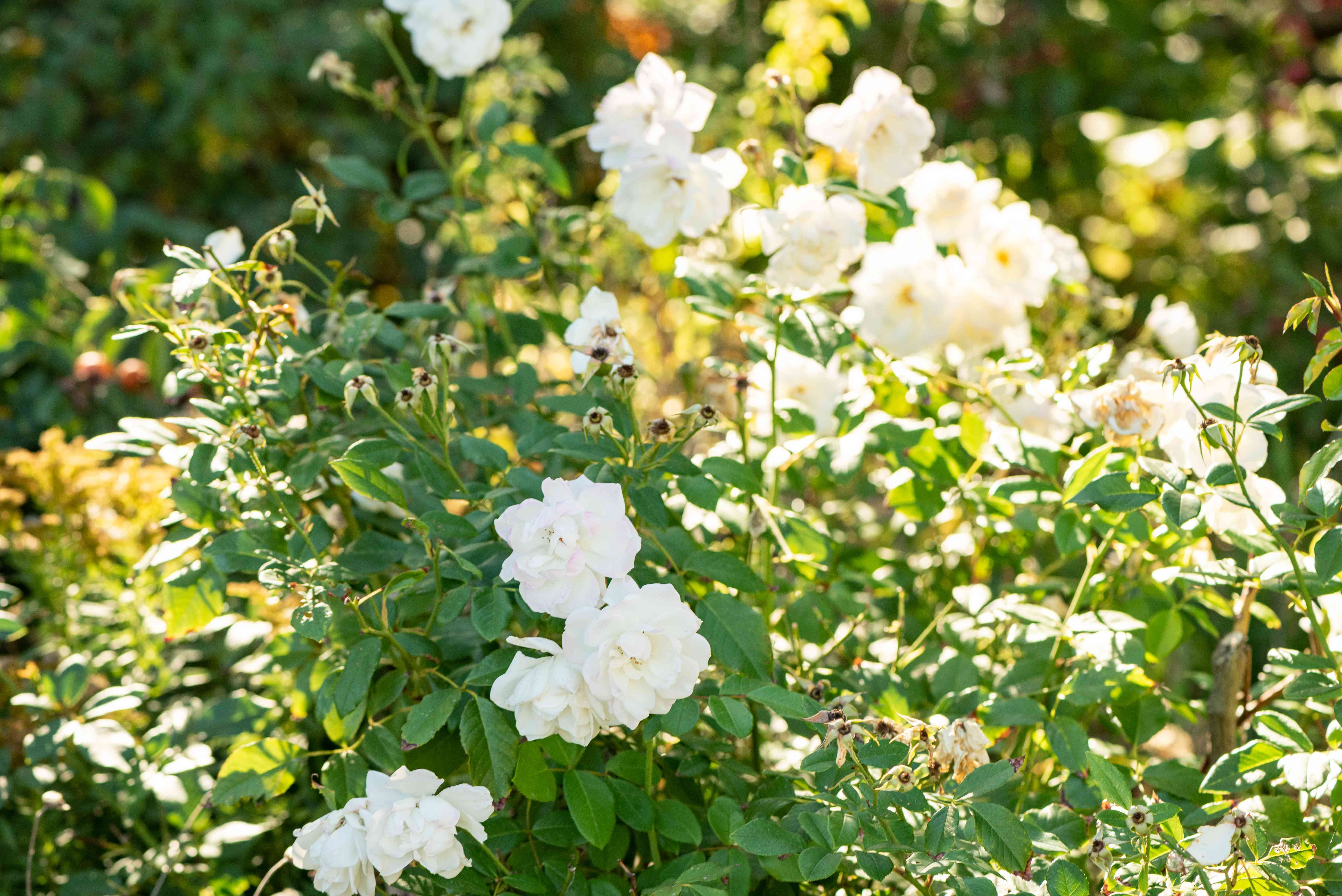 Cherokee rose bush with climbing branches and white flowers