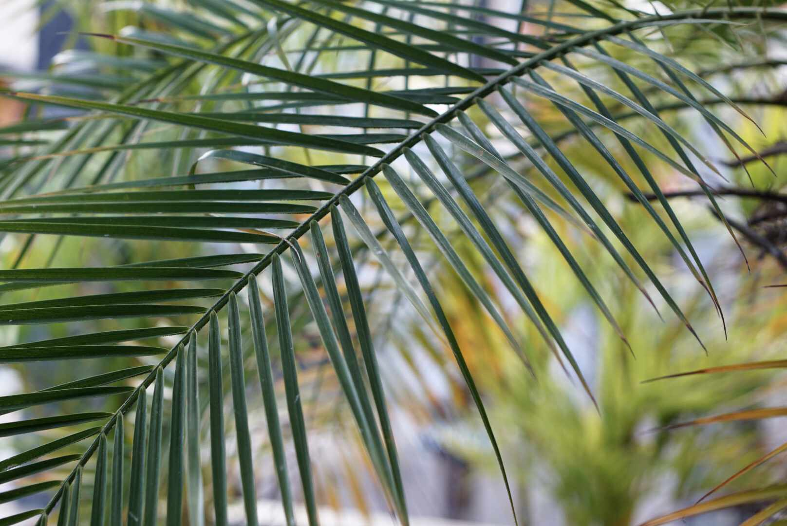 Robellini palm tree fronds with long and thin leaves closeup