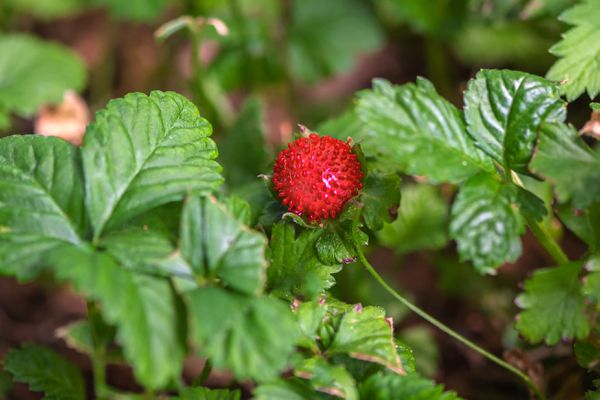 Mock strawberry plant with rounded leaves and a red-burgundy fruit