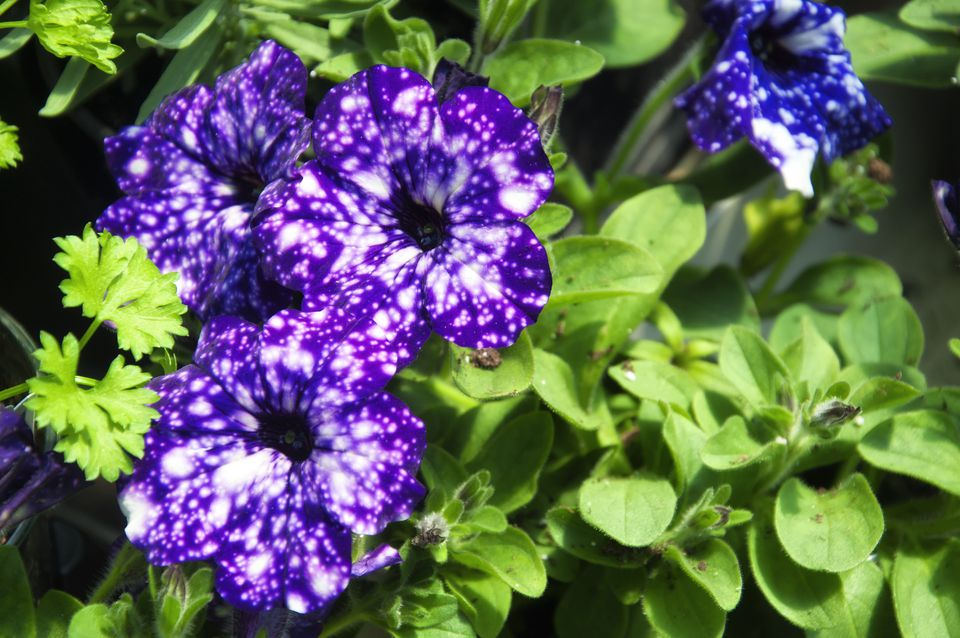 Close up of the flowers of the Galaxy Petunia