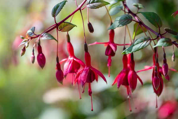 Bolivian fuchsia plant with red flowers and buds hanging from red-stemmed branches closeup