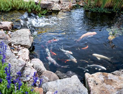 Koi pond with ornamental fish swimming with small waterfall surrounded by rocks