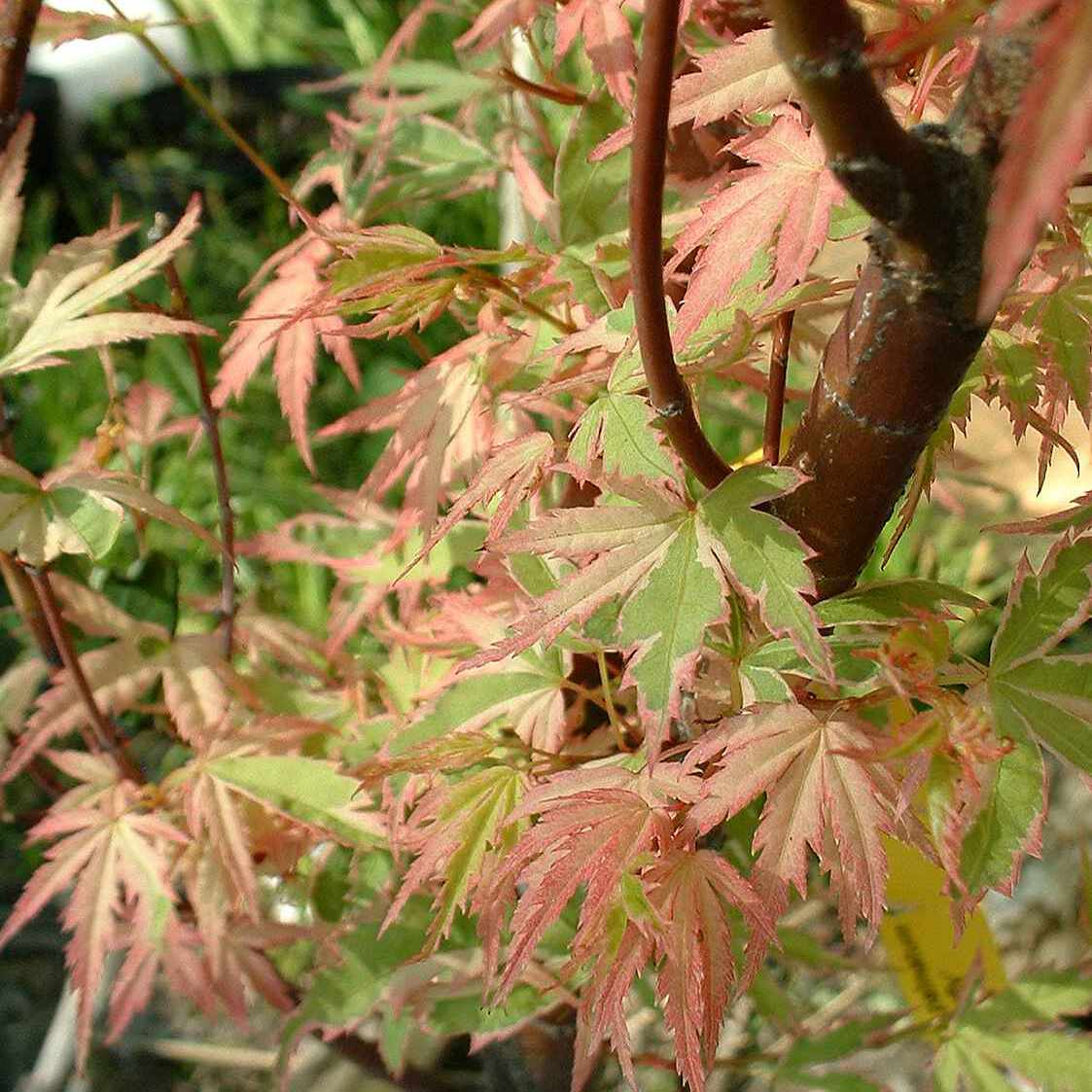 Acer 'Butterfly'
