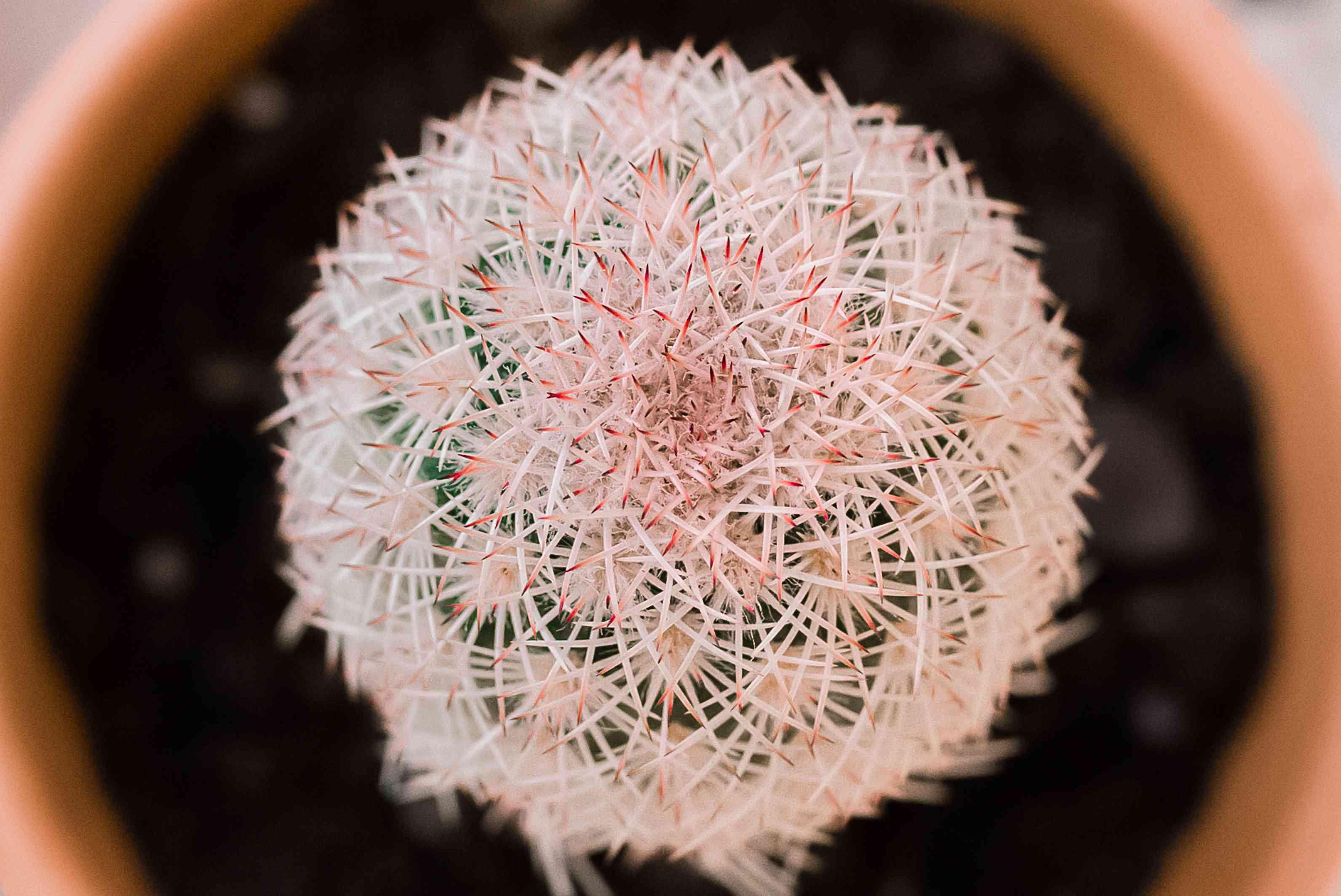 closeup of echinocereus cactus