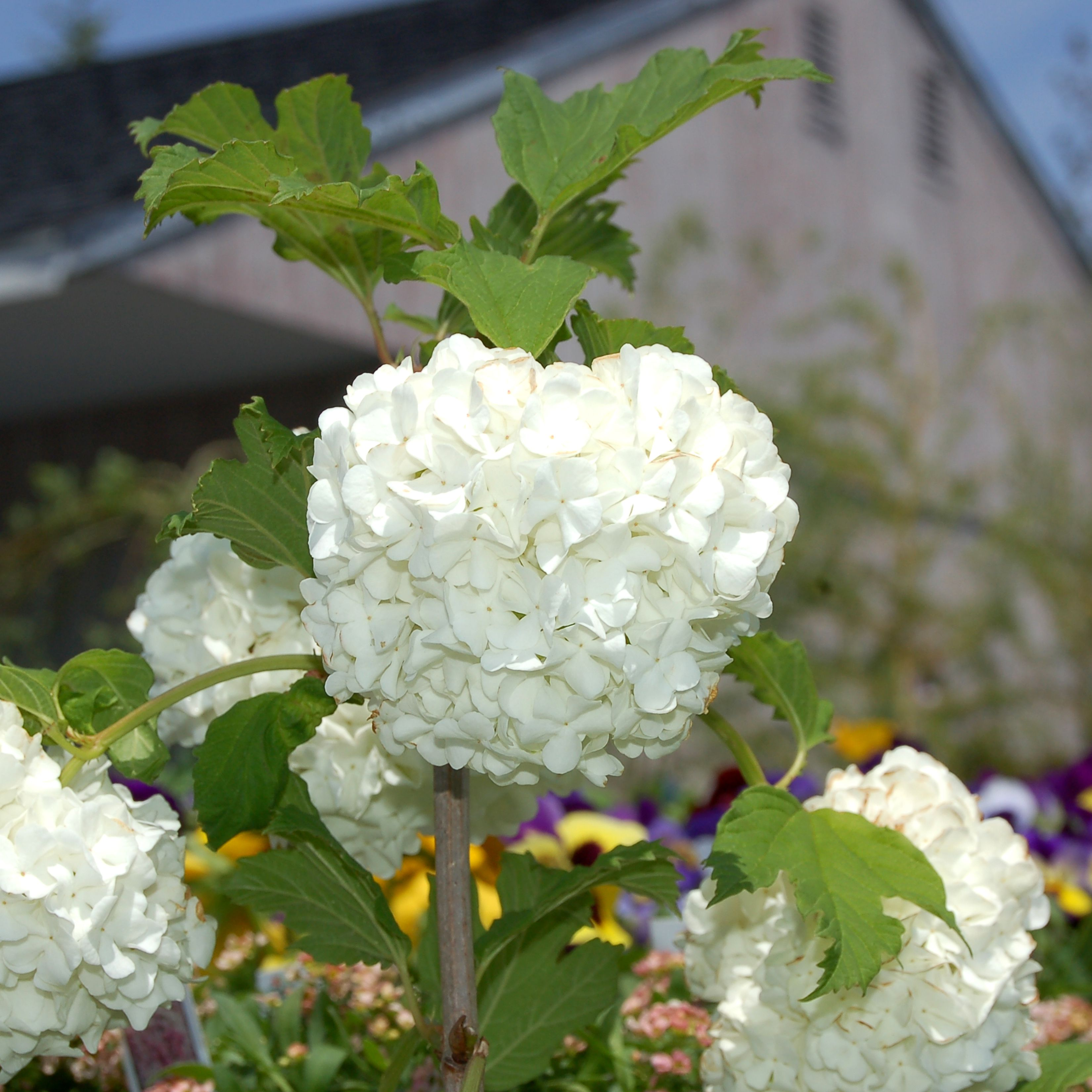 How to Grow and Care for Snowball Bush Viburnum