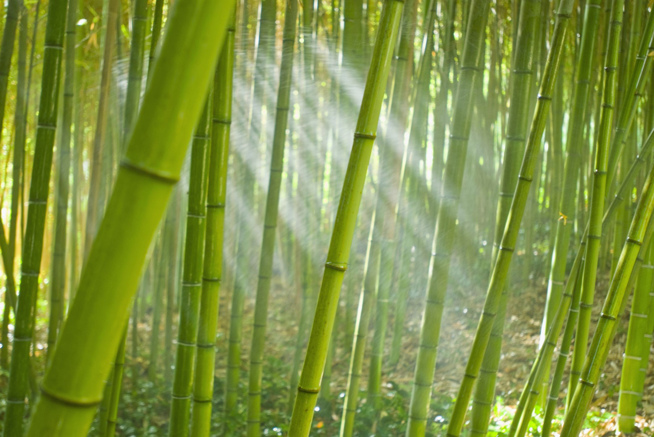 Bamboo Removal Eradication With Or Without Herbicides