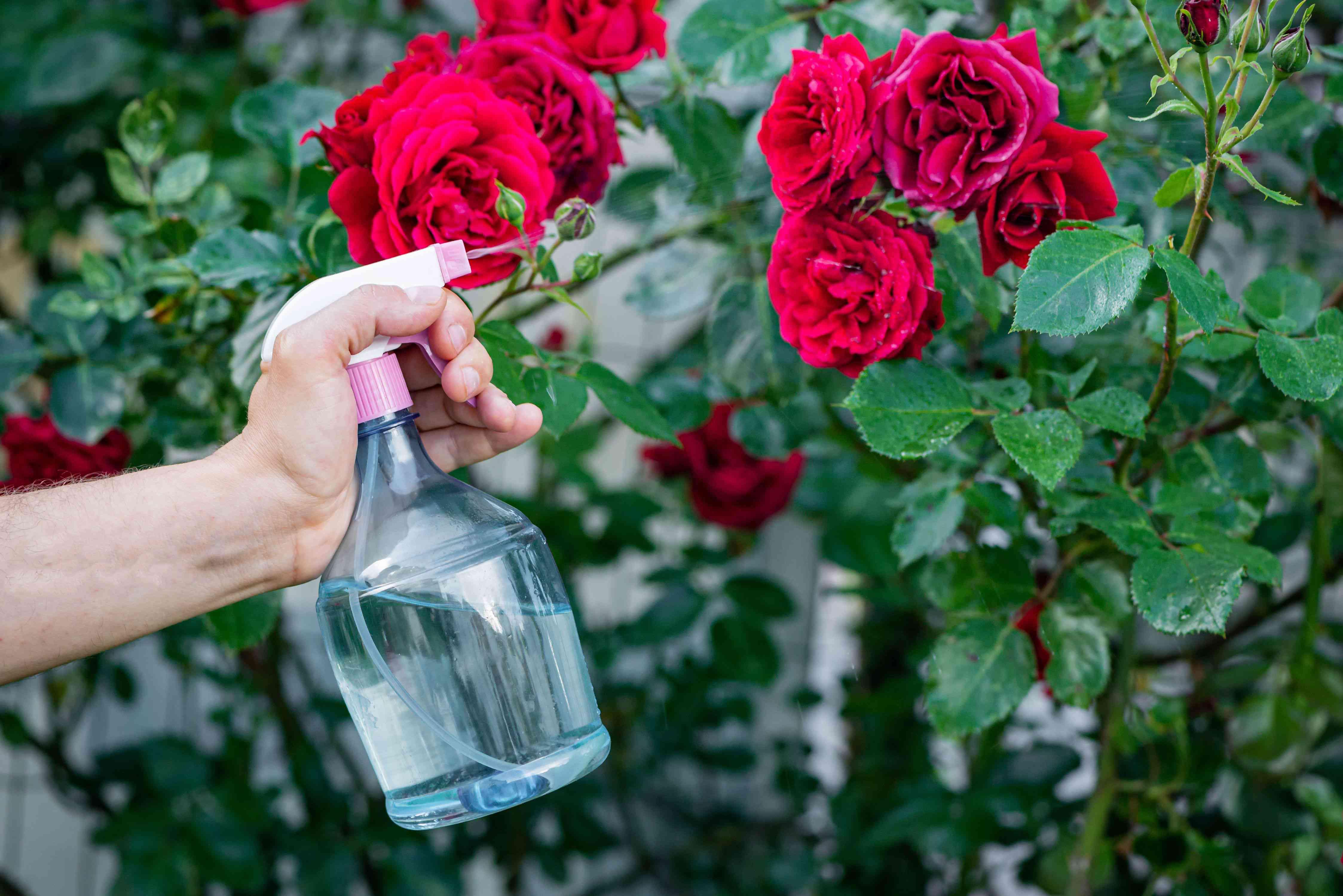 spraying baking soda mixture onto roses