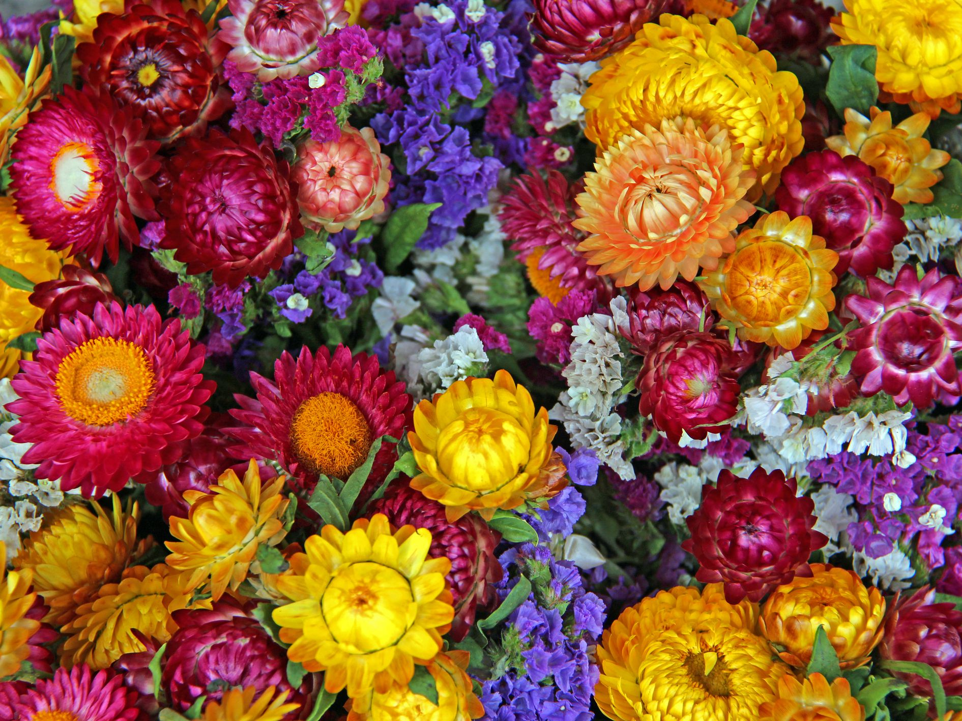 Strawflower 8 Colours Helichrysum Sultane Mix Seeds Cut or Dried Double Flowers