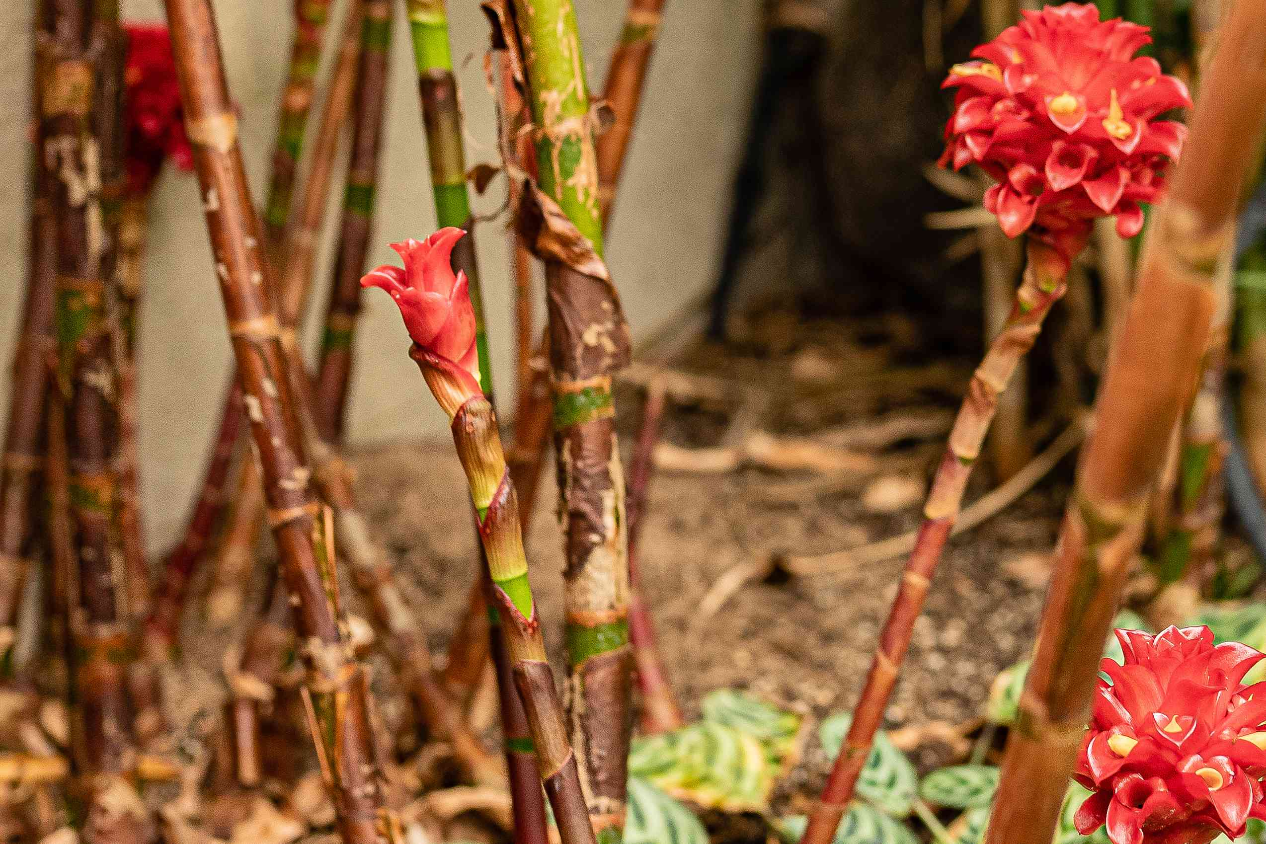 Pineapple ginger plant with reed-like stems and waxy red flower bracts and buds on buds