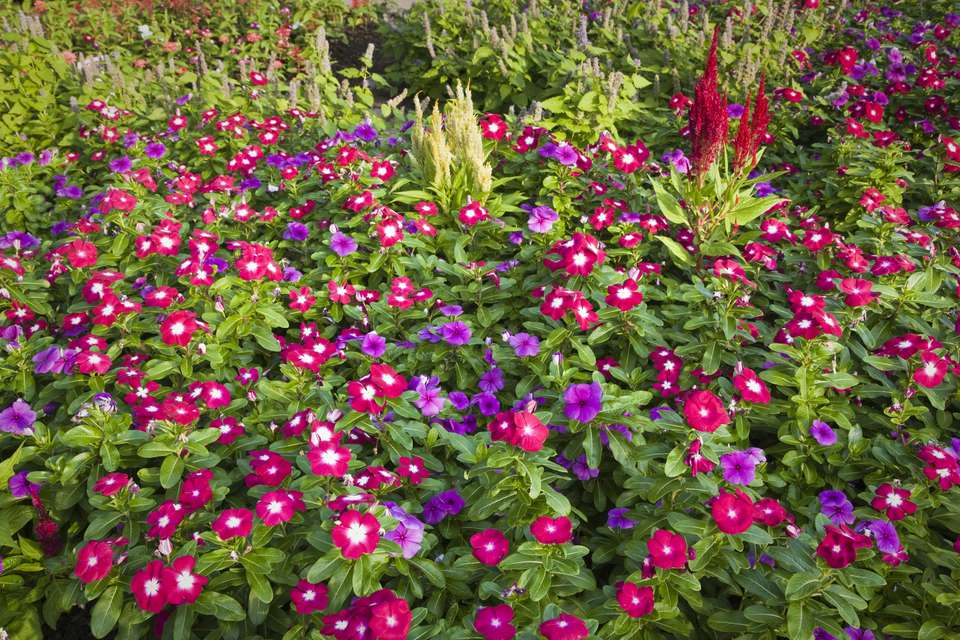 Vinca Flowers and Celosia Flower Combination