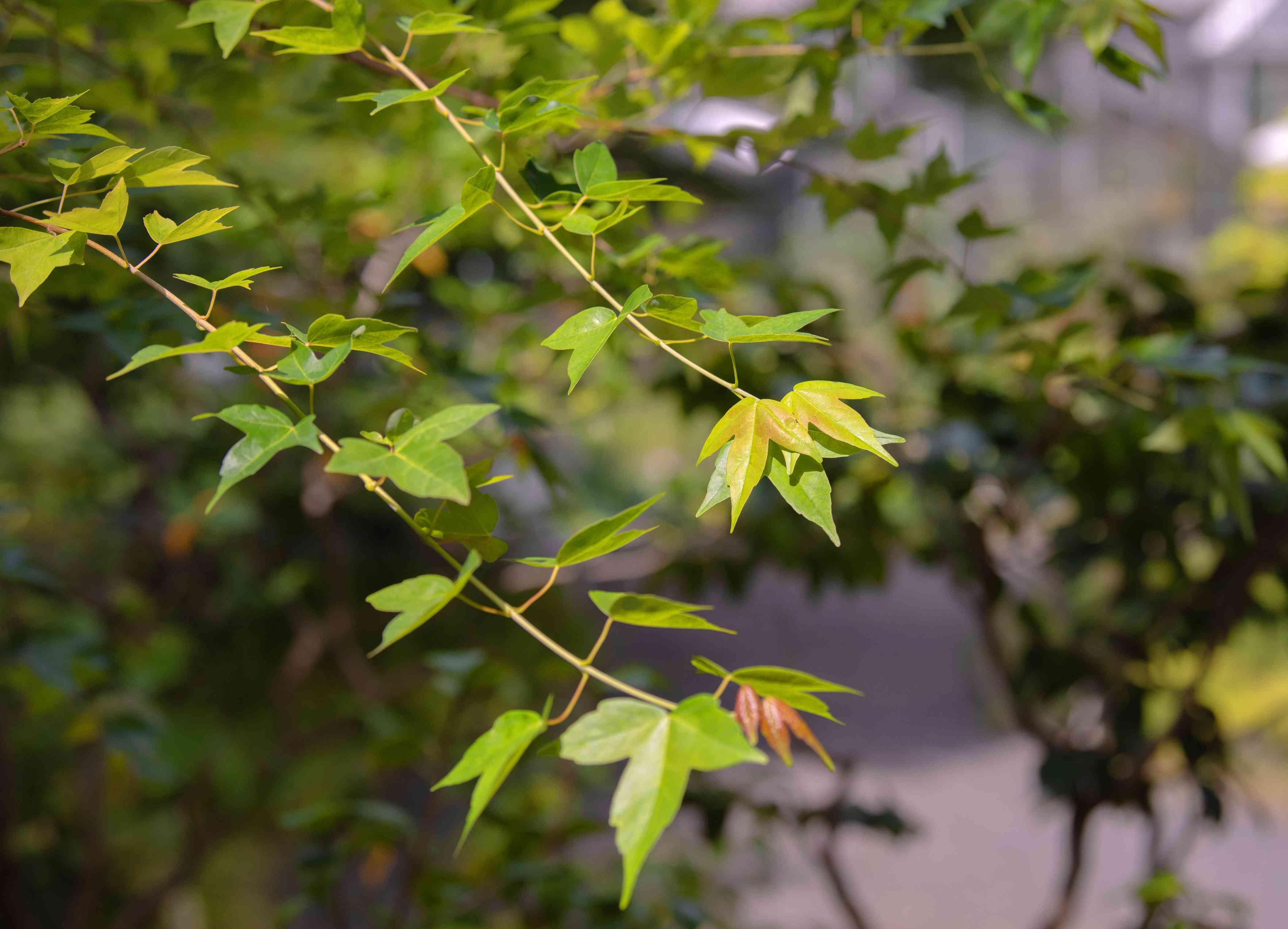 Trident maple tree branches with green and yellow-green three-lobed leaves hanging in sunlight