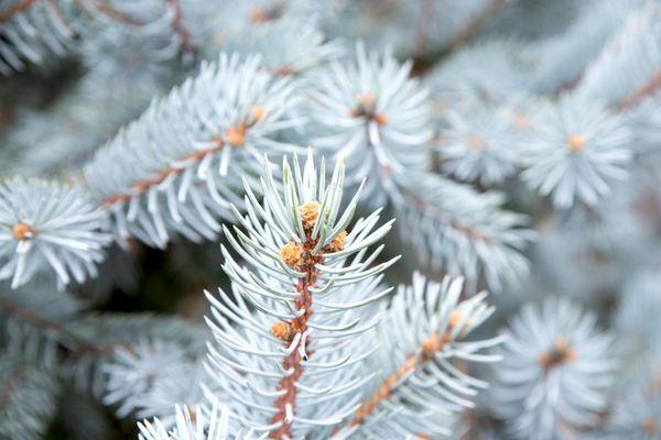closeup of Colorado blue spruce