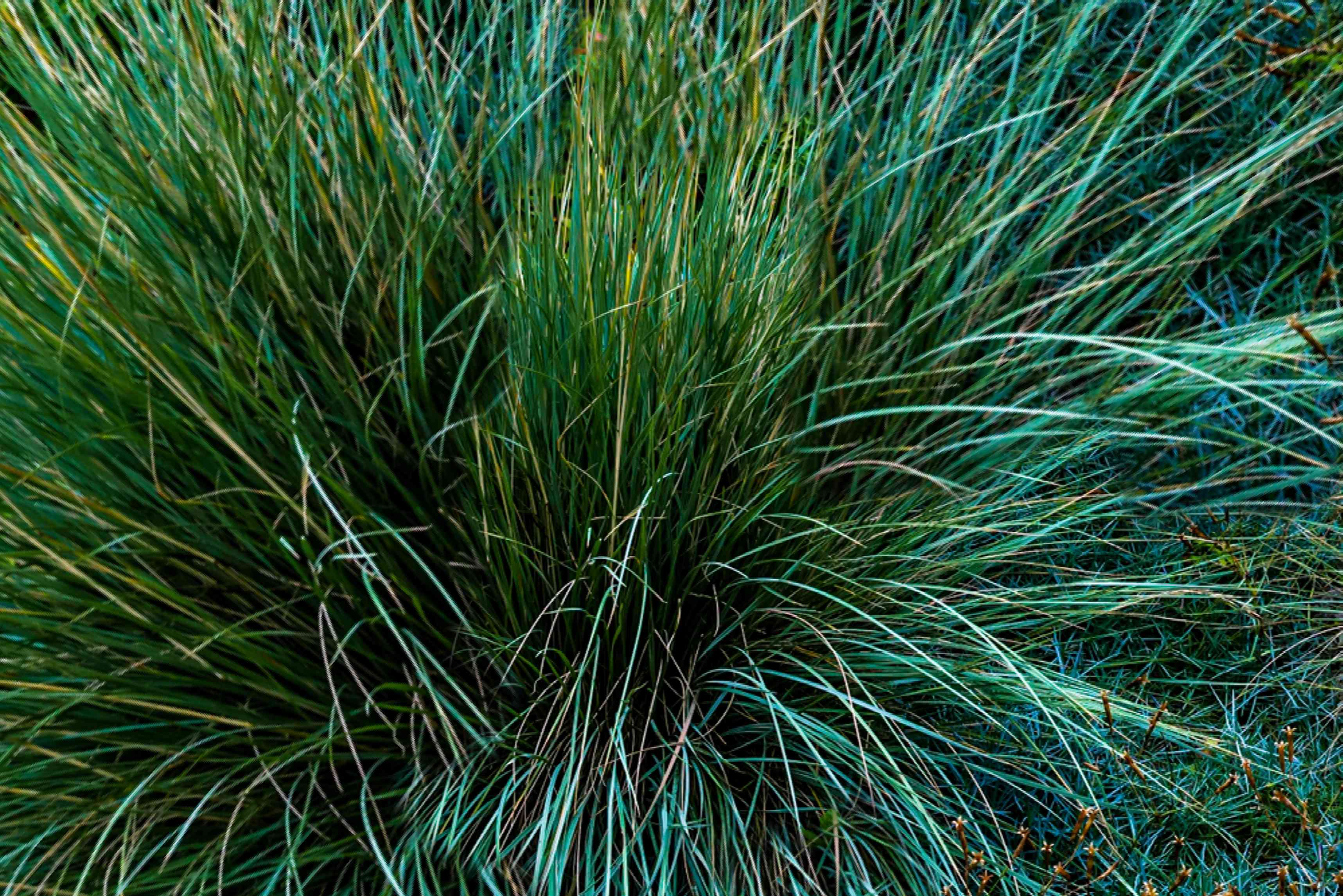 Ornamental grass with long thin blades for cool seasons