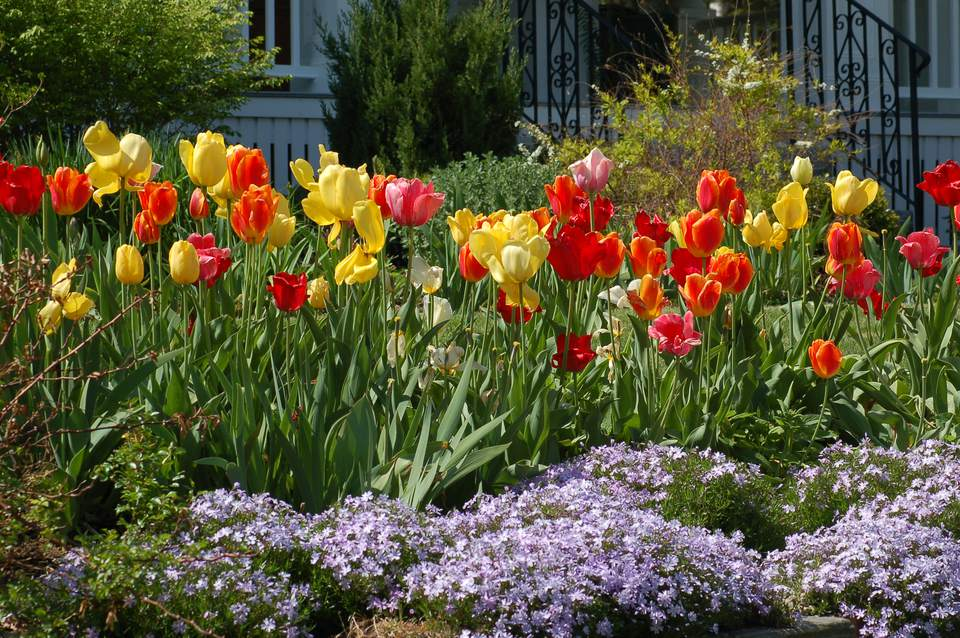 A flowerbed full of tulips and creeping phlox