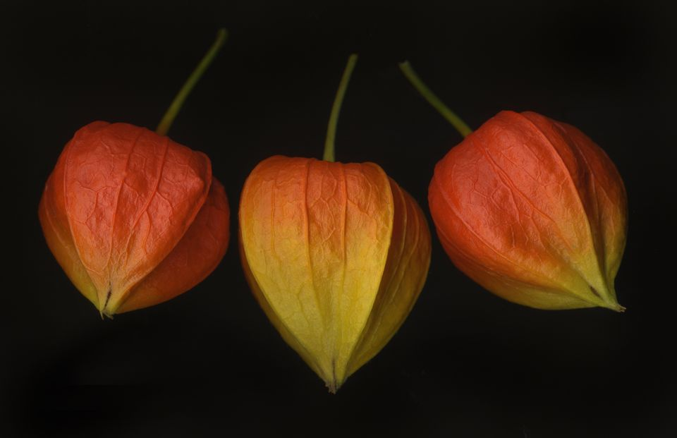 Three Chinese lantern pods against black background.