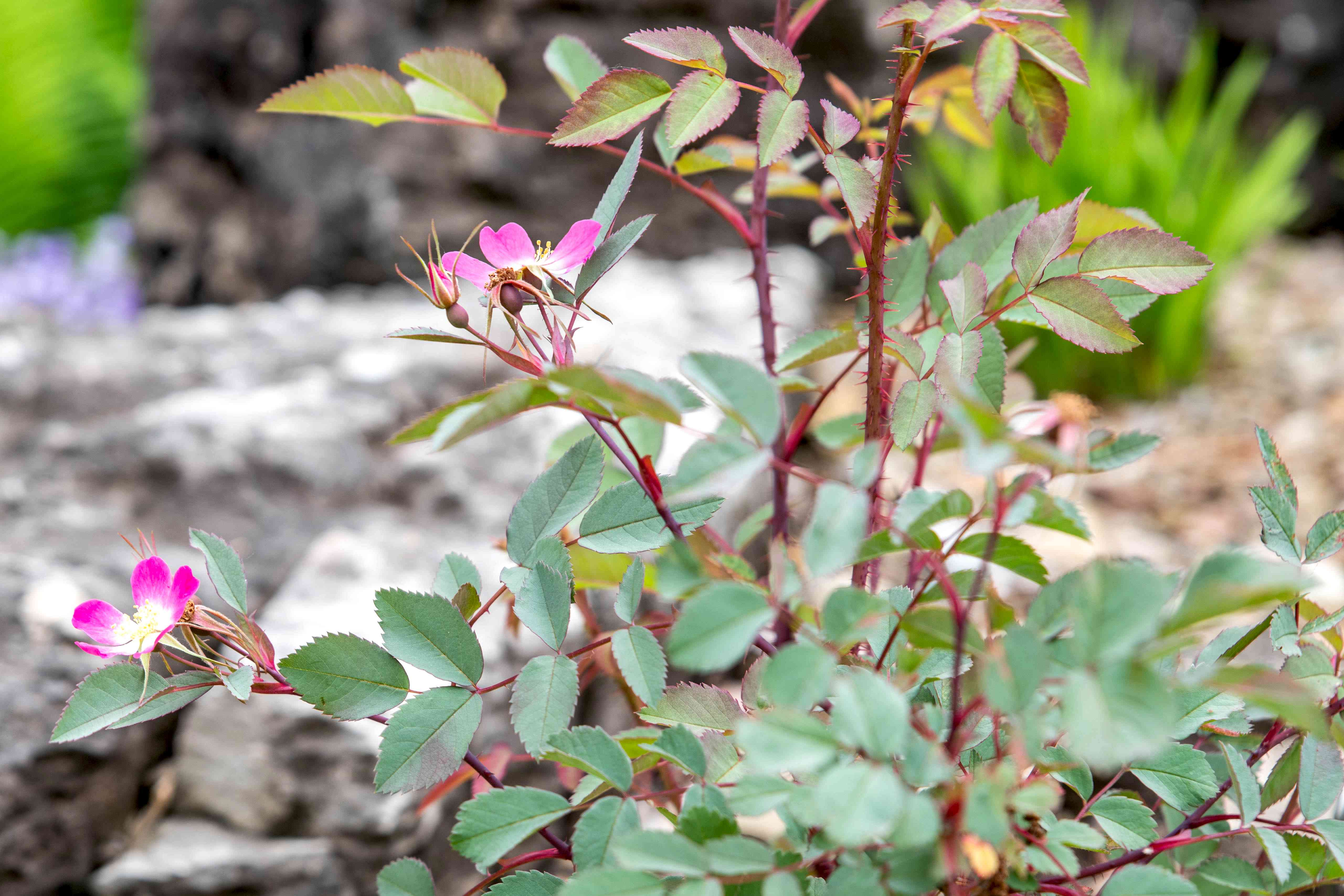 Redleaf rose plant with thorns and pink flowers on end of red stems