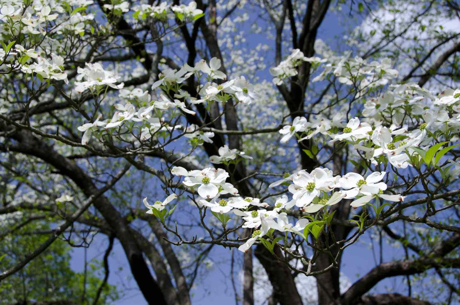 Cornejo en flor (Cornus florida)