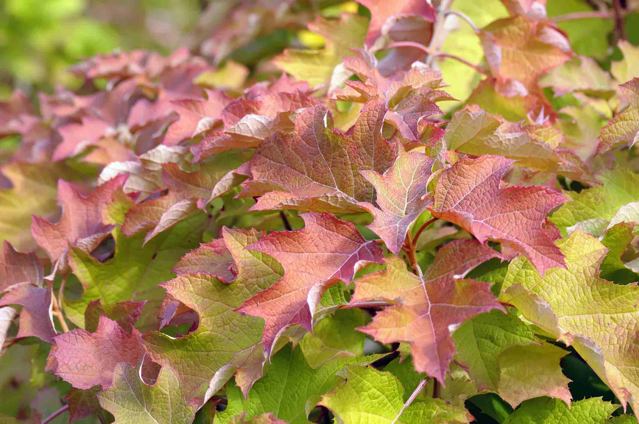 Oakleaf hydrangea bush with red color in its autumn leaves.